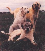 [Trio of Anatolian Shepherd Dogs]