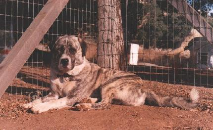 [Picture of: Handsome Brindle Anatolian]
