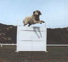 [Picture of: Anatolian taking an obedience jump]