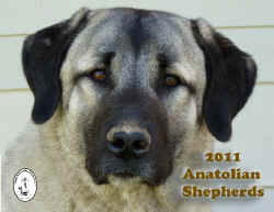 2011 Calendar cover - Amatolian Shepherd Dogs International
