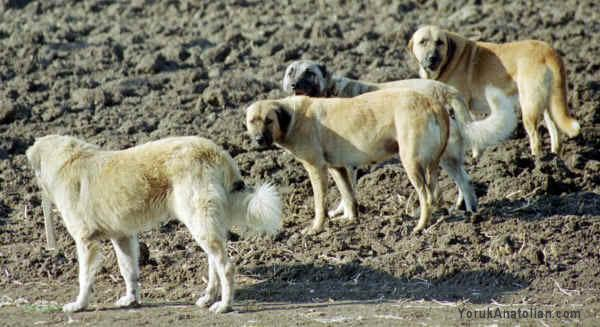 Anatolian Shepherd Dog Top Dogs   Dog Breeds Picture